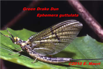 Green Drake Ephemera guttulata from Penns Creek Pennsylvania